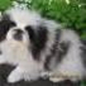 Продам щенков пекинеса дев.