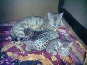 Продаются Бенгальские котята.